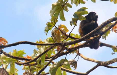 Costa Rica howler monkeys